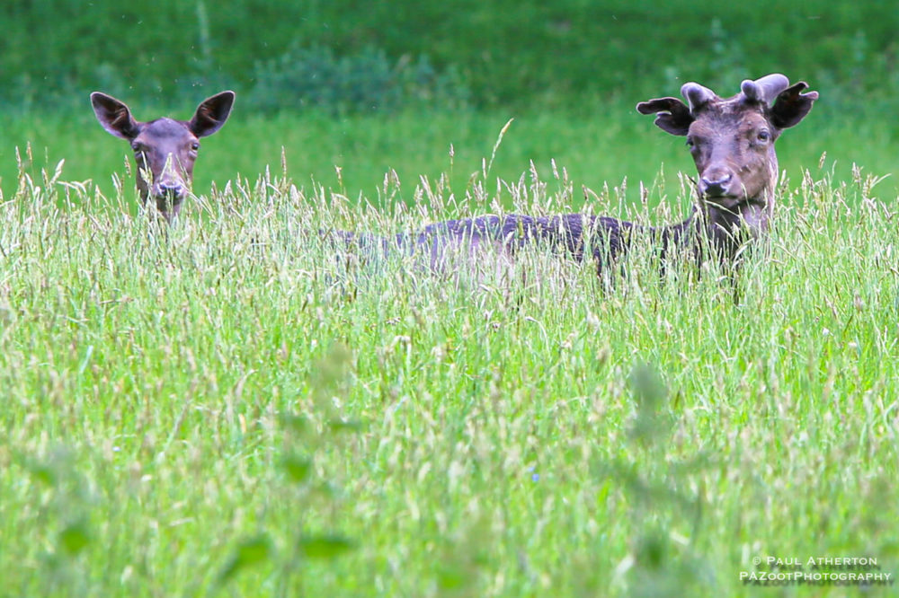LevensHall-Deerpark-Fallowdeer_PaulAtherton