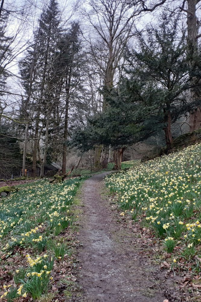 Host of golden daffodils in Doras field in March 2020