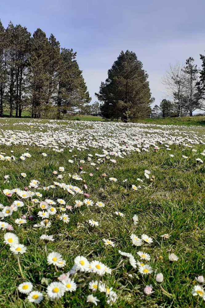 Daisy deluge on Kendal golf course