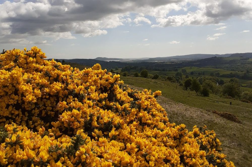 Gorse, sky and the Kent estuary