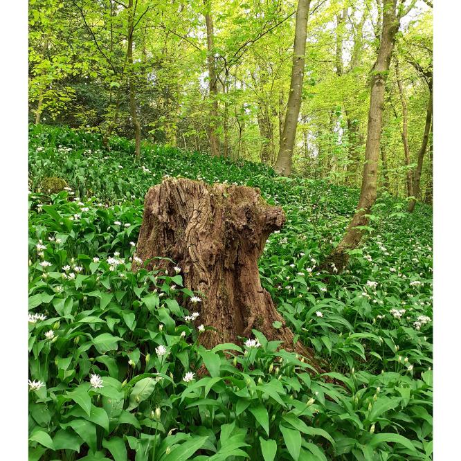 Wild garlic in Serpentine Woods, Kendal