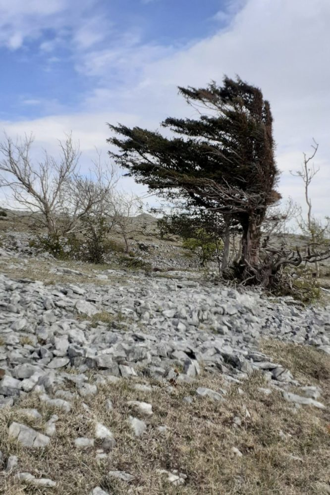 Windswept tree on Scouts Scar