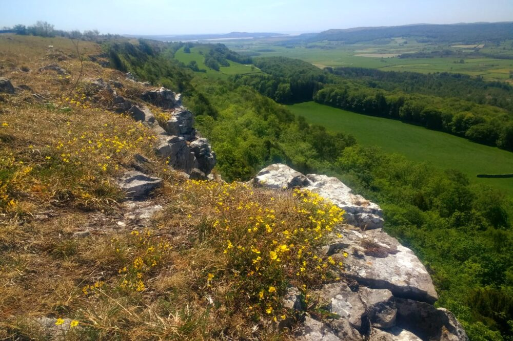 Yellow hoary rockrose on the edge at Scouts Scar