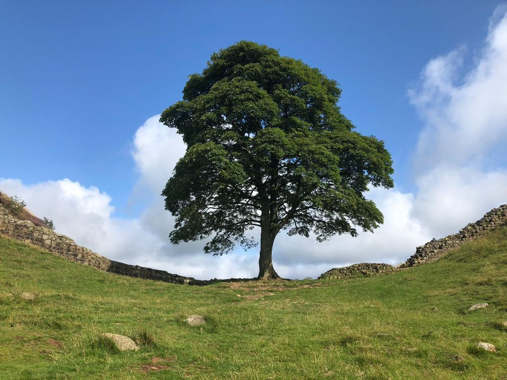 Sycamore Gap viewed from the front
