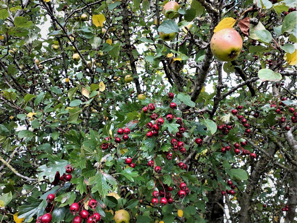 Berries and apples for the plucking in a hedgerow harvest