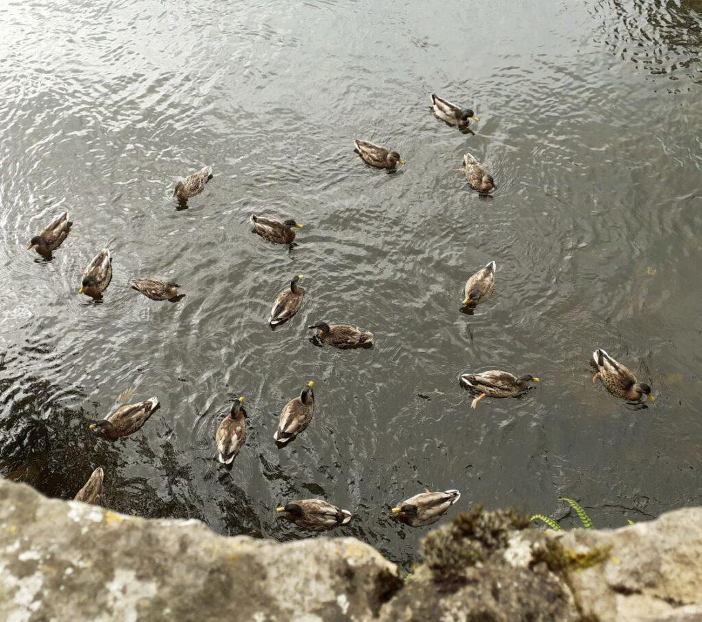 Ducks beneath the bridge at Milnthorpe