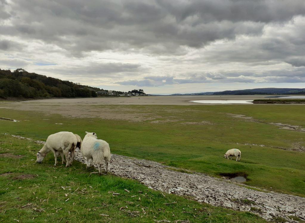Salt-marsh lamb grazing at the Kent Estuary