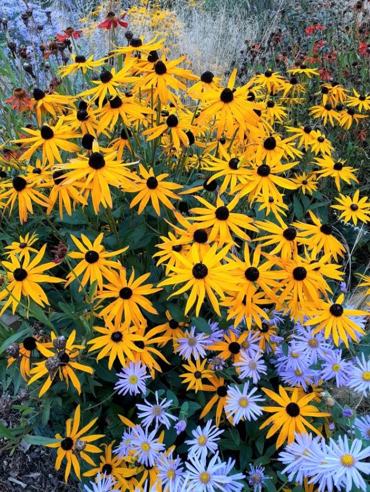 Rudbeckia bring sunshine even on the greyest day