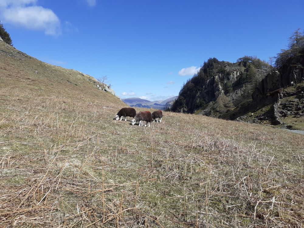 Last year's Herdy ewes with Castle Crag in the background