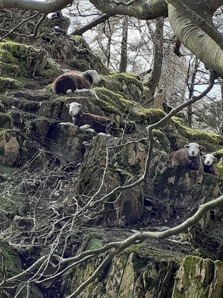 Herdwick sheep watching us watching them from the foot of Castle Crag