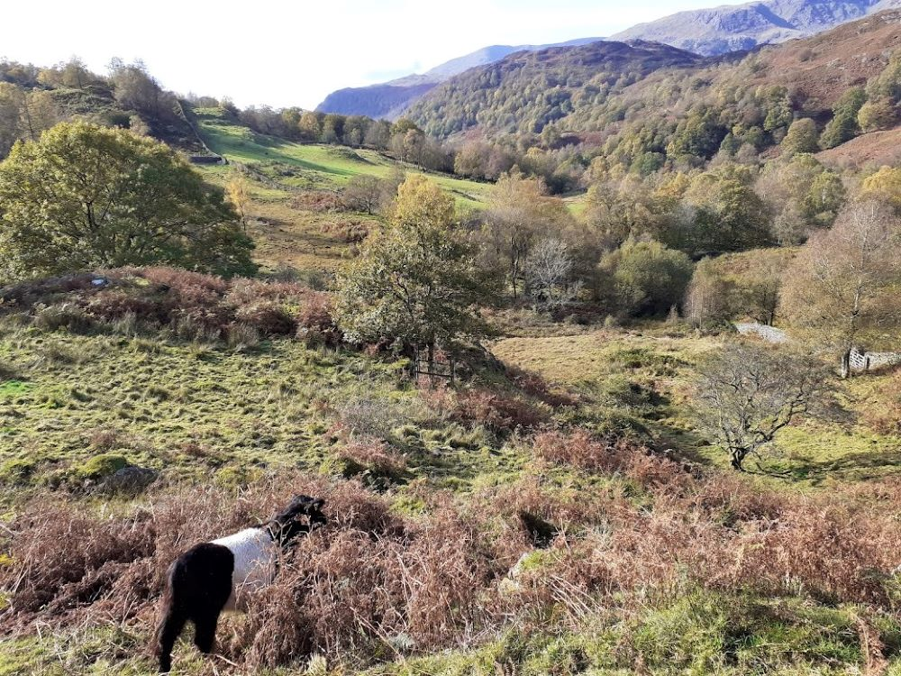 Autumnal scene of a Belted Galloway cow grazing
